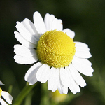 1024px-Chamomile_flowers
